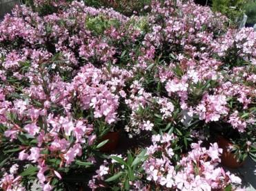 Nerium Oleander 2020-03
