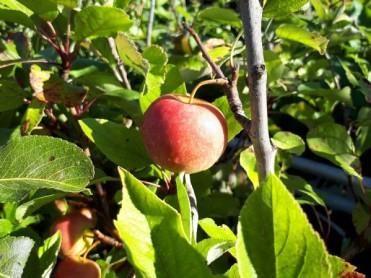 Fruitier miniature 2020-03